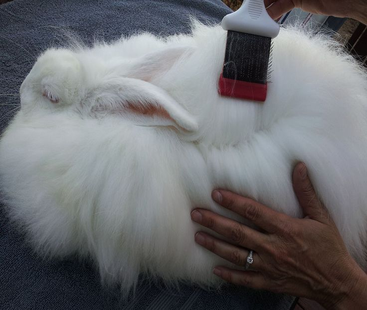 How to Groom an Angora Rabbit
