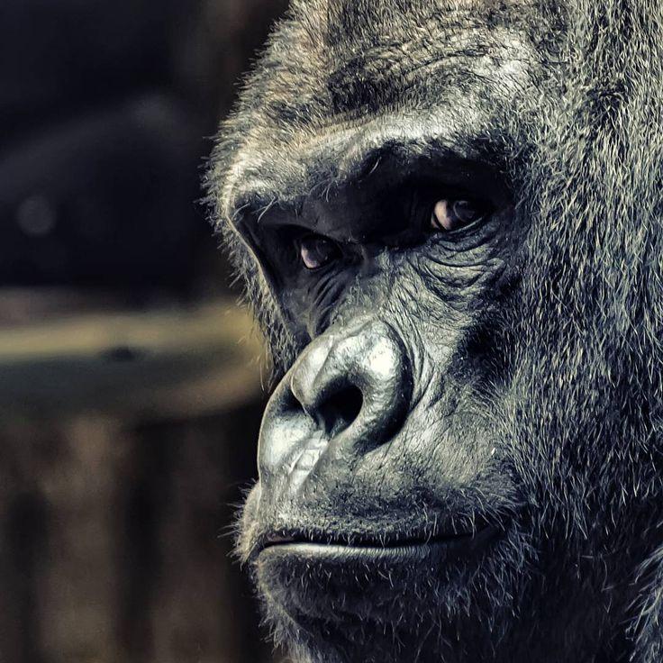 Epic  animals tier animal affe ape tiere gorilla face