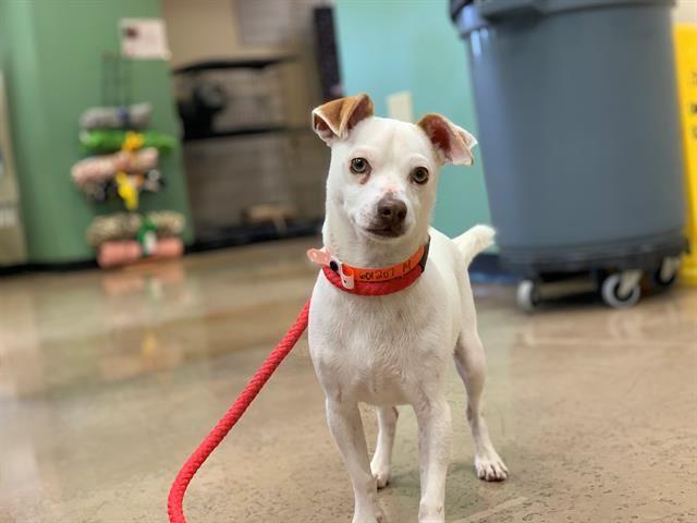 Meet Stewie Arizona Humane Society Dog Training Classes Lap Dogs
