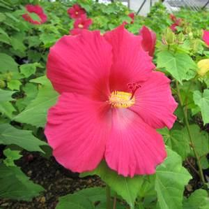 Big Hit Red Hardy Hibiscus Buy Online Best Prices Flowers