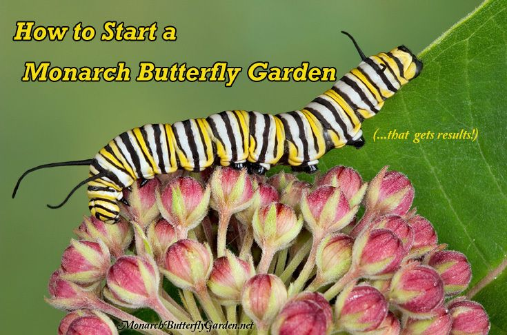 Create a monarch butterfly garden garden that gets serious results. Discover the basics and attract more monarchs than you ever dreamed. Start with milkweed