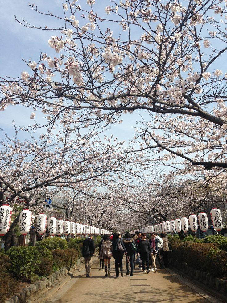 beautiful sakura  tunnel @tsuruokahachimangu