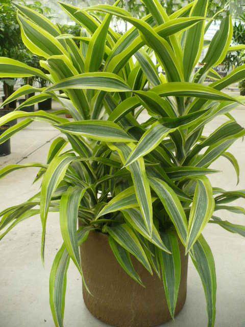 Money Plant Decor Indian Outdoor