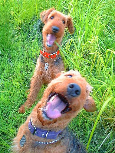 Dorothy&Coconut #AIREDALE TERRIER エアデールテリア