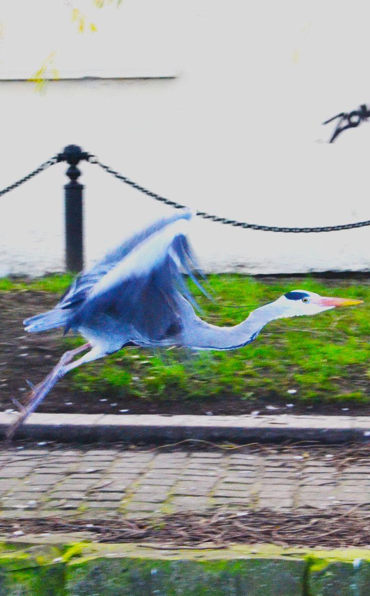 Photograph: The Flight of the Heron; Date: January 30, 2016; Location: Drumcondra Road, Dublin; Photographer: Jedd Cabreza Photography