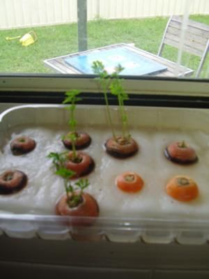 Growing Carrot Tops- Sensory Plant Area