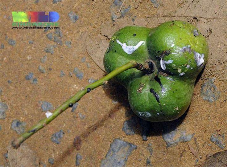 Hevea brasiliensis fruit (Photo: Ria Tan, CC BY-NC-ND)