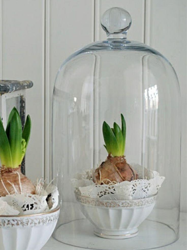 Vang het voorjaar in een mooie stolp! #bollen #lente