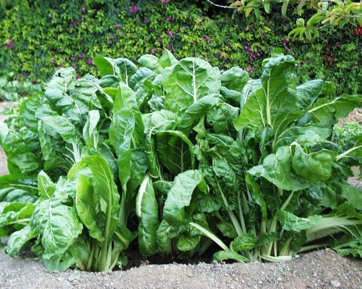 Las acelgas, verdura sana sana  http://mihuertaonline.wordpress.com/2014/05/20/las-acelgas-verdura-sana-sana/