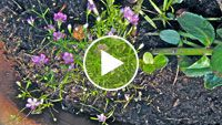 Flora van Nederland:Gipskruid - Gypsophila muralis  (wit) Het in het wild zeer zeldzame Gipskruid, Gypsophila muralis, is een klein blijvende plant met sterk vertakte stengels. De bloeiwijze bestaat uit een bijscherm met relatief veel bloemen. De kleur van de kroonbladen is roze tot lichtroze soms zelfs tegen het wit aan, maar opvallend is de sterke adering in de kroonbladen. De kelkbladen zijn vergroeid. De stengelbladen staan tegenover elkaar en zijn smal lijnvormig.