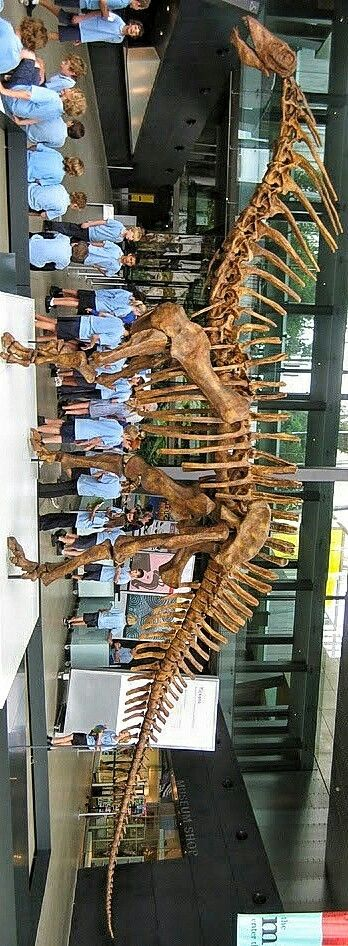 """Amargasaurus """"La Amarga lizard"""" is a genus of sauropod dinosaur from the Early Cretaceous epoch (129.4–122.46 mya) of what is now Argentina. The only known skeleton was discovered in 1984 and described in 1991, forming the holotype specimen of the single species Amargasaurus cazaui. The skeleton is nearly complete, including a fragmentary skull, making Amargasaurus one of the best-known sauropods from the Early Cretaceous"""