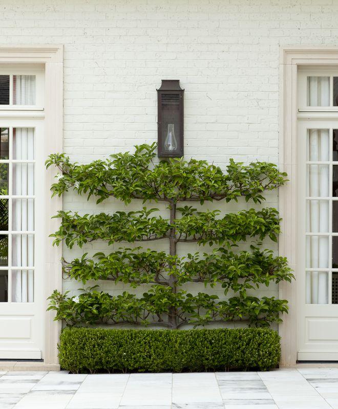 25+ Best Boxwood Tree Ideas On Pinterest