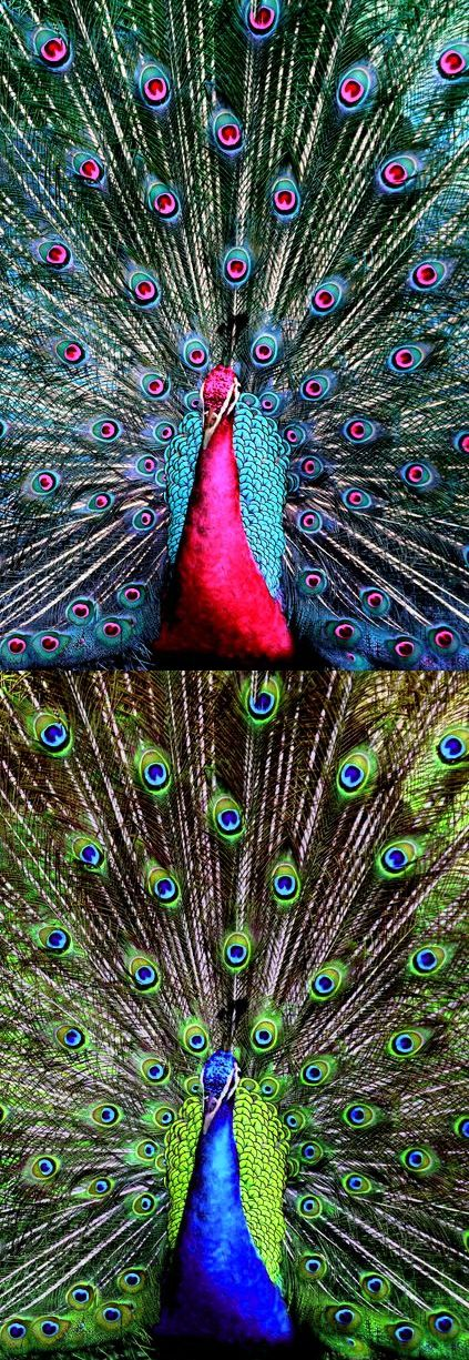 "Fake - ""pink peacock"" - Real image, blue peacock, on the bottom - Peafowls can be green (Pavo muticus), blue (Pavo cristatus), black (Afropavo congensis) and white (albino version of the others), the other colors are FAKE!"