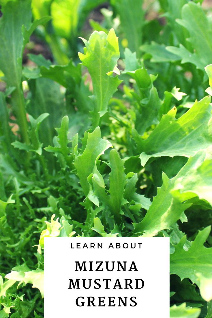 Cabbage Chard Collard Greens Endive Lettuce Kale Mustard