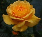A lovely gold rose, ideal Anniversary rose!