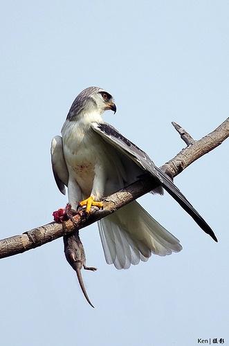 Black Shouldered Kite // Élanion d'Australie -