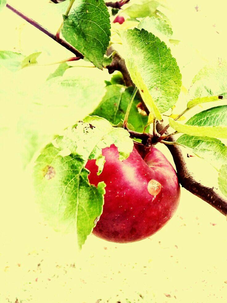 apple leaf hole artistically red green