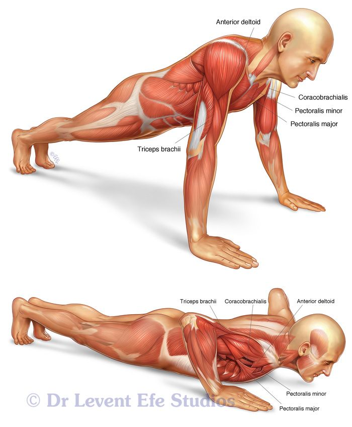 Push-up muscle anatomy.