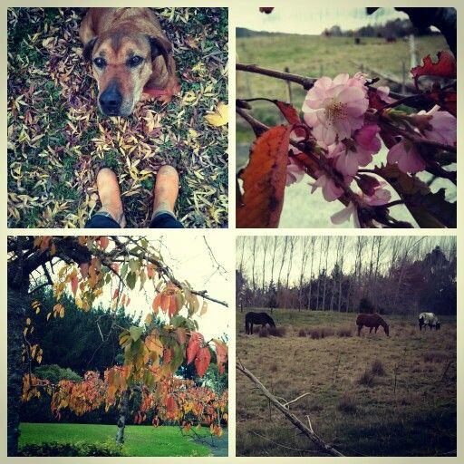 An autumn  stroll around our farm with Sarfi.  #autumn #fall #ourdog #leaves #horses #farm #beautiful #nature