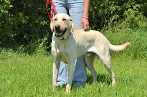 Mike is a handsome adult yellow lab! He would be an awesome tracking dog! He is eager to please and very motivated! He loves to run and play- he does great with other dogs! He is a great boy to have around- excellent temperament and snuggle buddy. He does have separation anxiety if he is alone- he should have another person or dog around to keep him company!    Neutered    Up-to-date with routine shots    House trained Coco's Heart Dog Rescue in #StPaul #Minnesota -- onto #Adoptable Pets