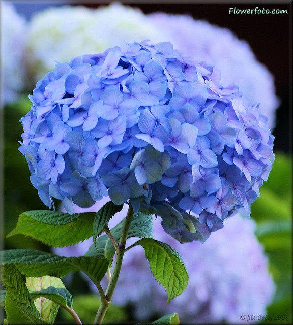 Blue Flower Hydrangea