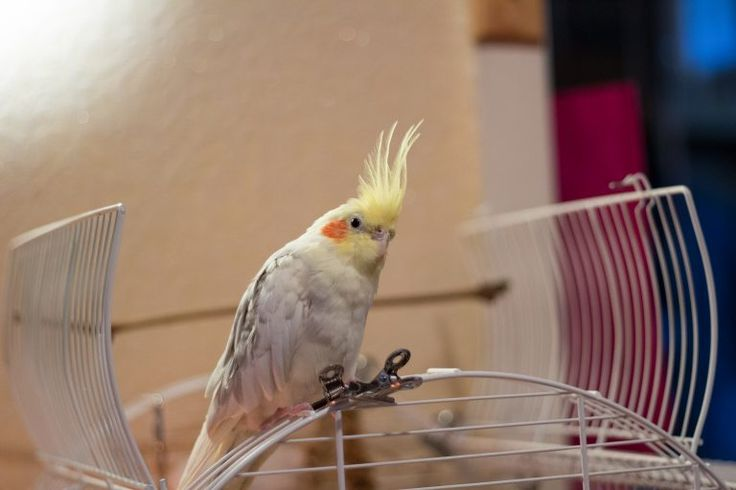 Parrot on his cage