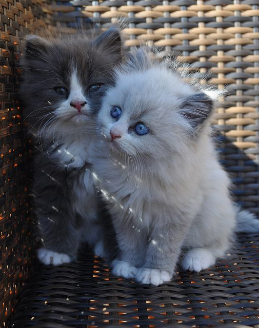 """""""We quickly discovered that 2 kittens were much more fun than one."""" --Allen Lacy"""