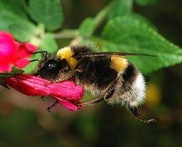 Bumblebee October 2007-2.jpg