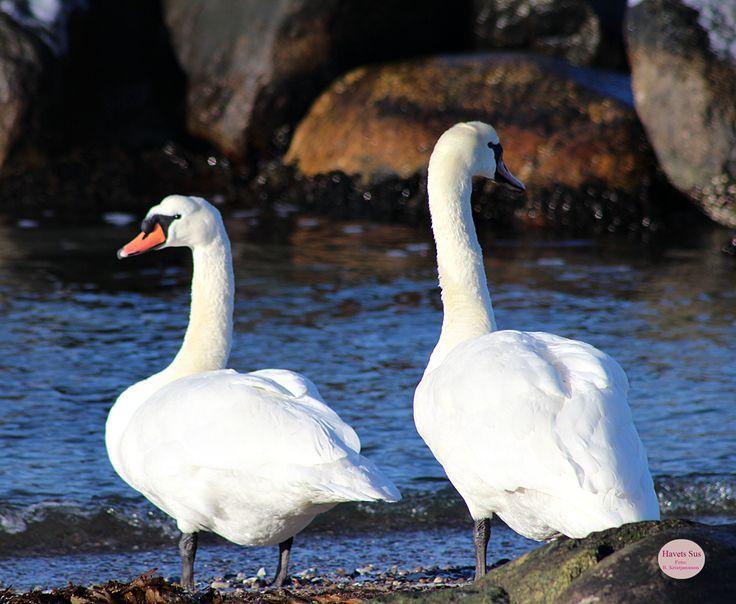 Kikhavn, svaner, swans, winter, vinter, Denmark Danmark, Hundested, Havets Sus