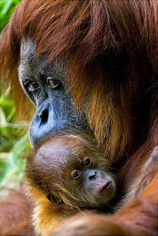 Rochale, a 41-year old Sumatran Orangutan holds her newborn baby at the Ramat Gan Safari park near Tel Aviv, Israel, Monday, Aug. 9, 2010.