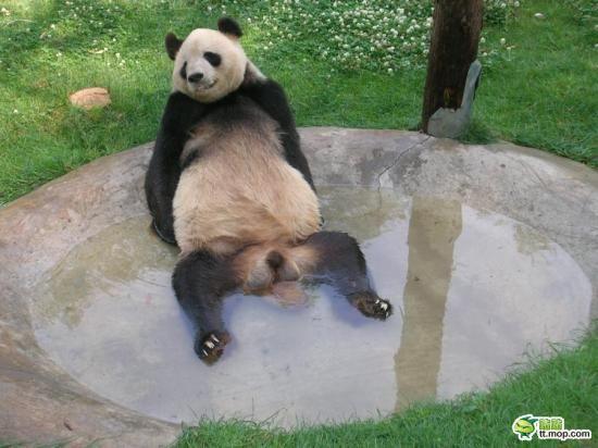 17 best funny pandas images on pinterest panda bears panda and funny pandas voltagebd Choice Image
