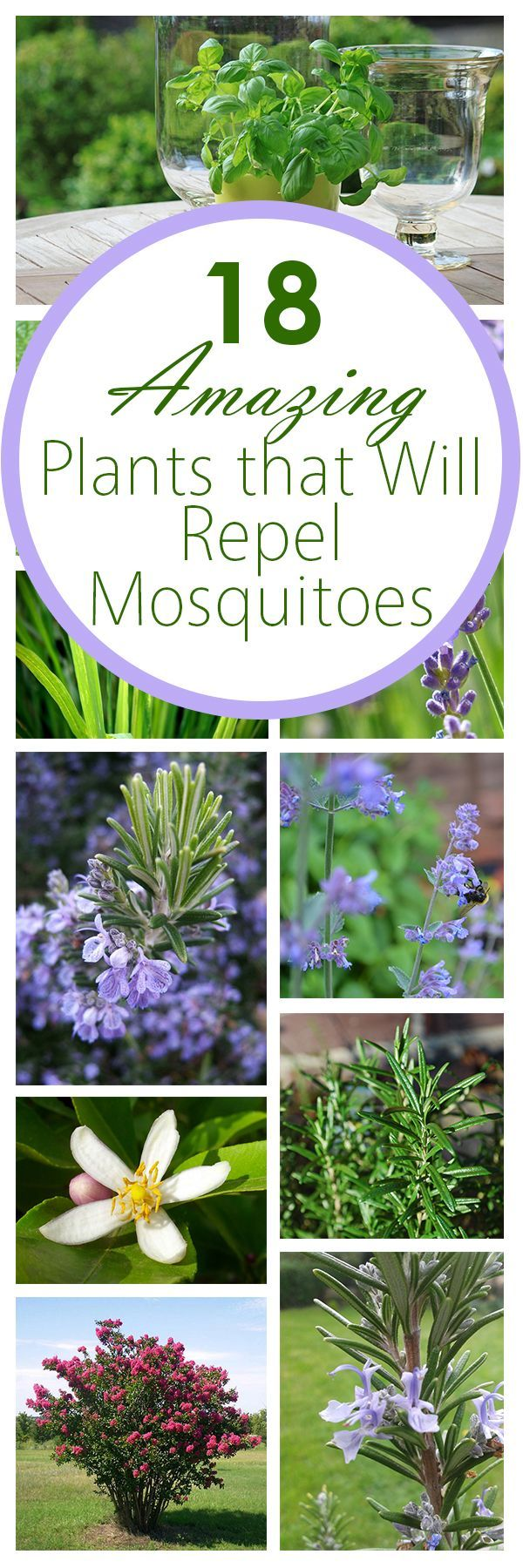 Basil Basil not only gets rid of mosquitos, but it also has lots of other qualities and uses as well! If you want, you can extract the basil oils and turn them into a spray for an even more effective mosquito repellent.