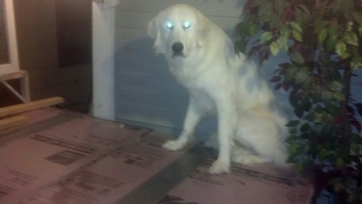 Our new Great Pyr, Maximus. He was given to us after spending about 6 months with another family. Well, he's very skittish! He's been giving us trouble going outside. When he finally did, he somehow ended up on top of my jacuzzi! It's a temp cover, foam board, & it bends! So this flipped him out, & he Refused to move! 45 mins later, my husband came home & lifted him off, as he wouldn't move! Man oh man!