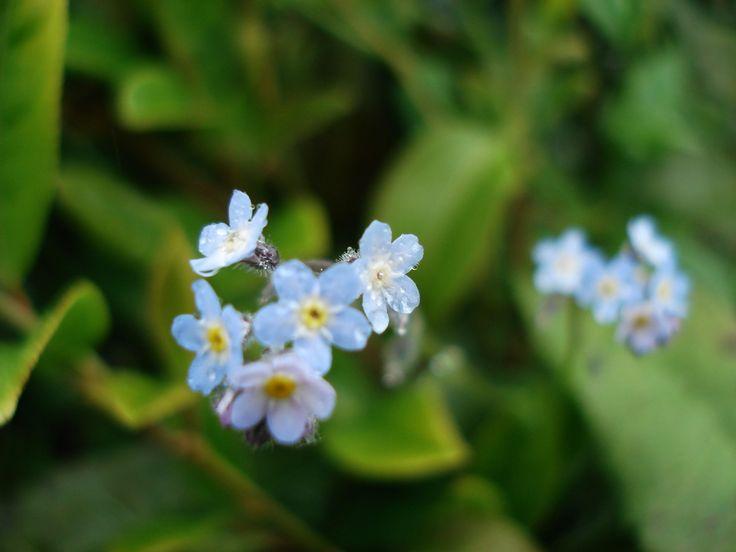 Unutmabeni çiçeği ... Fotoğraf Zerrin Temur ...