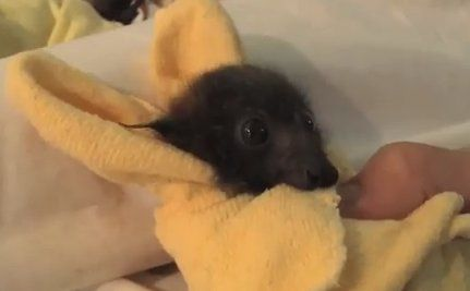 Daily Cute: Orphaned Baby Bats Nursed to Perfect Health