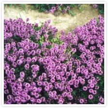 Thymus serpyllum 'Coccineus'  Wilde tijm. Kruiptijm. Vormt heel lage, dichte zoden van kruipende stengels met kleine donkergroene, ovale bladeren, die in de bloeitijd van juni tot augustus geheel zijn overdekt met trosjes kleine purperpaarse bloemetjes. Verkiest een plaats in droge, arme grond in de volle zon. Plantafstand 20-25 cm. Hoogte 5cm.