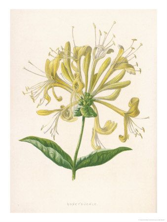 Google Image Result for http://cache2.artprintimages.com/p/LRG/17/1740/8CJ3D00Z/art-print/f-edward-hulme-honeysuckle.jpg