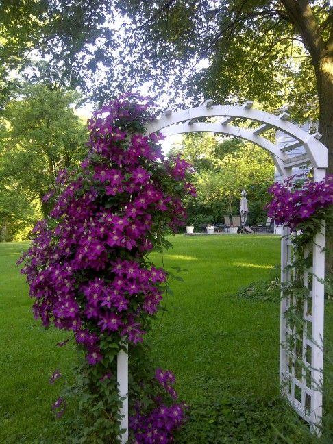 25 Best Ideas About Clematis Plants On Pinterest