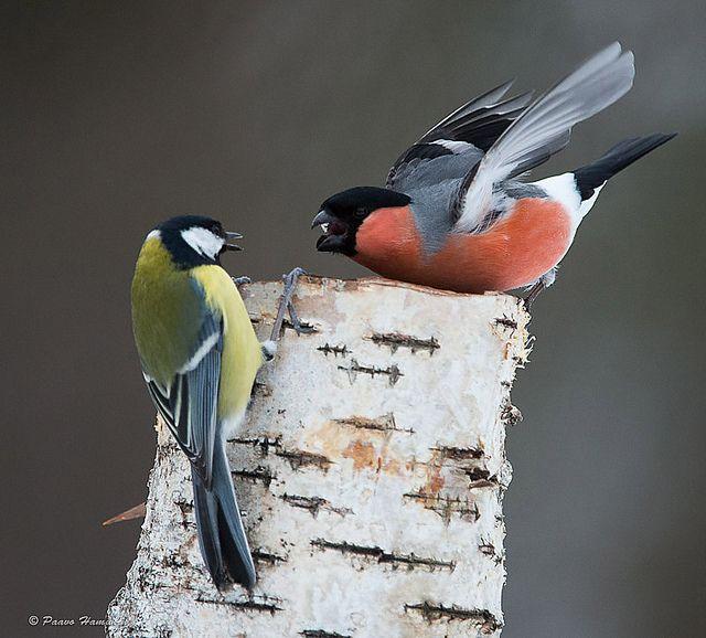 talitiainen, punatulkku, Great Tit, Bullfinch by Kuusamo Nature Photography, via Flickr