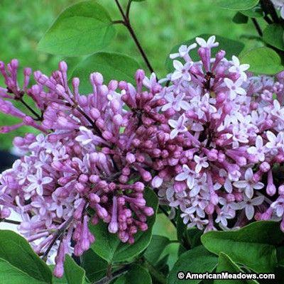Best 25 Dwarf Lilac Ideas On Pinterest Dwarf Flowering Trees Dwarf Lilac Tree And Dwarf Trees