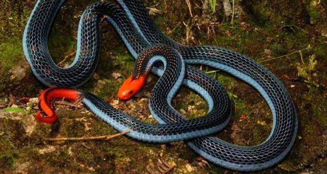 Uma cobra com a maior glândula de veneno do mundo pode ser a resposta para o alívio da dor, diz uma pesquisa da Universidade de Queensland, na Austrália.