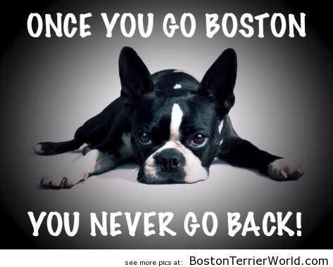You Never Go Back! - Boston Terrier Pictures ❤❤❤ from http://BostonTerrierWorld.com