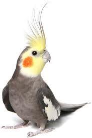 VH Birds: Algumas dicas para criação de Calopsitas