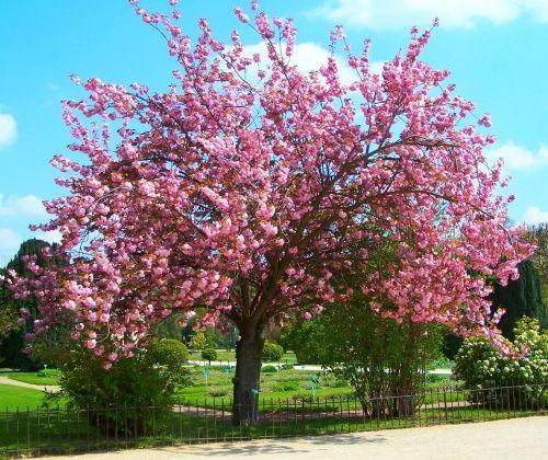 Cerisier fleur prunus serrulata great plants for Cerisier nain garden bing