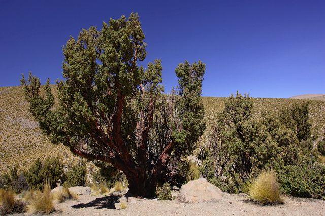 La Queñoa es un asombroso árbol que crece en zonas altas superiores a los 4 mil metros