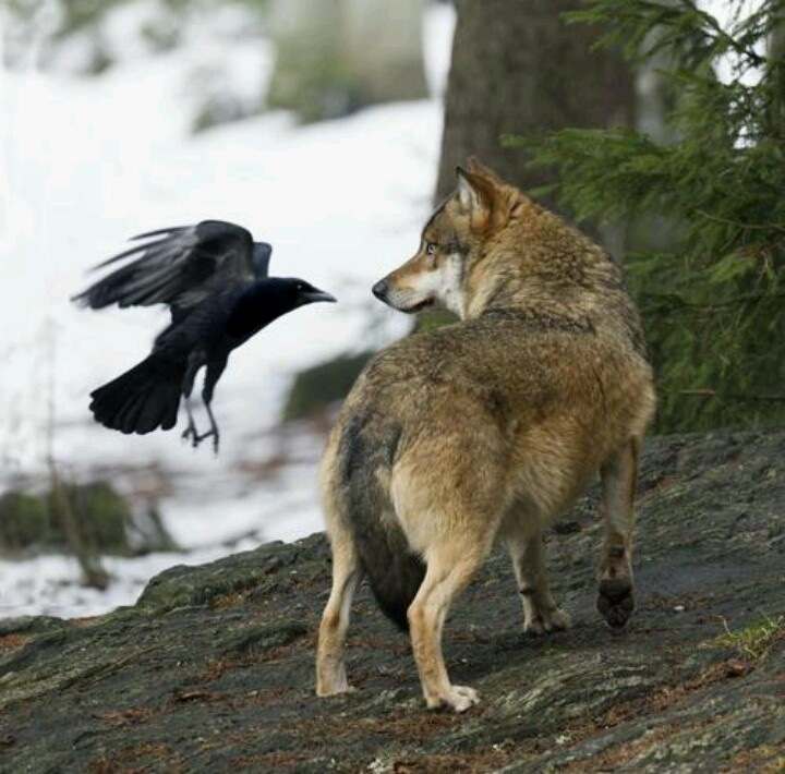 wolf and crow relationship quizzes