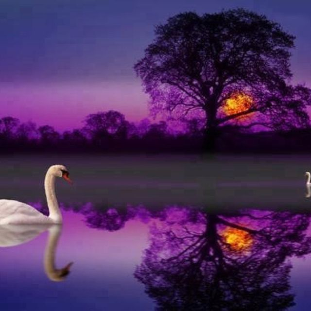 Swan……..HE ASKED IF HE COULD GO DOWN TO MY PURPLE PETUNIA - PEONE PATCH, BUT SADLY THERE IS NO POND DOWN THERE……..SO, I'LL JUST KEEP VISITING HIM UP HERE IN THE PURPLE POND…..I'LL TAKE HIM LITTLE TID-BITS…..HE'LL LIKE THAT…………ccp