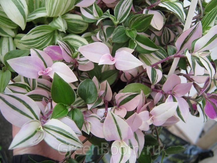Tradescantia Rainbow Hill Plants Pinterest Plants