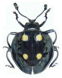 Eumorphus marginatus (Fabricius, 1801) F Endomychidae