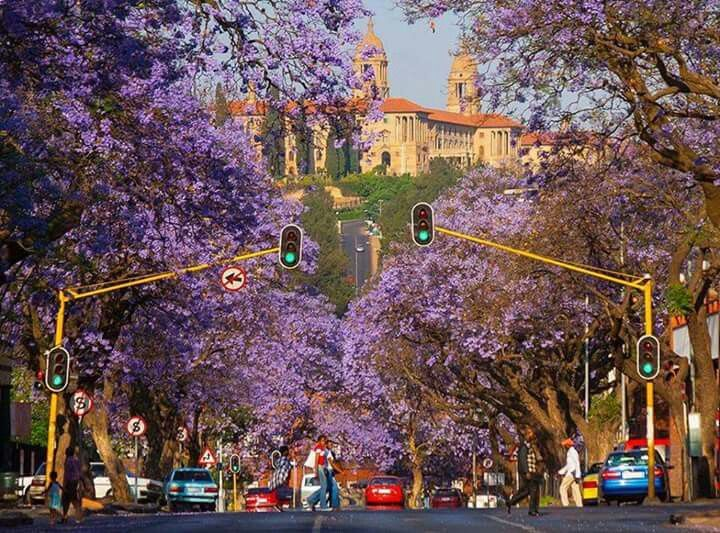Union buildings with jacaranda trees
